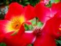 fiorirossi
